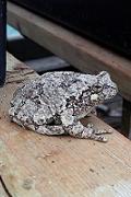 Grenouille dans la serre - Greenhouse Frog