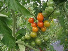 Tomates cerise - Cherry tomatoes