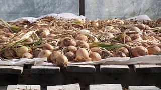 Oignons secs - Dry Onions
