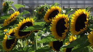 Rang de tournesols - Sunflower Row