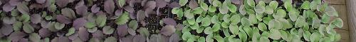 Semis - Seedlings I