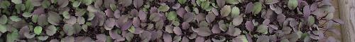 Semis - Seedlings II
