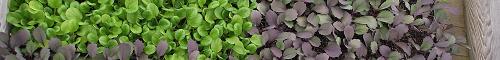 Semis - Seedlings III