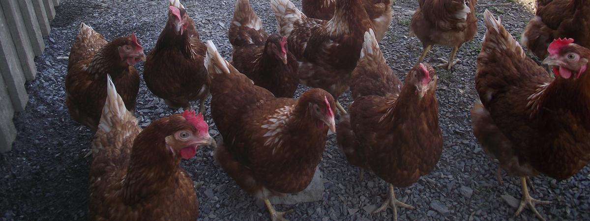 Poules nouvelles - New Hens_S