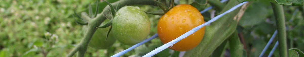 Tomates pas mûres - Unripe tomatoes_S