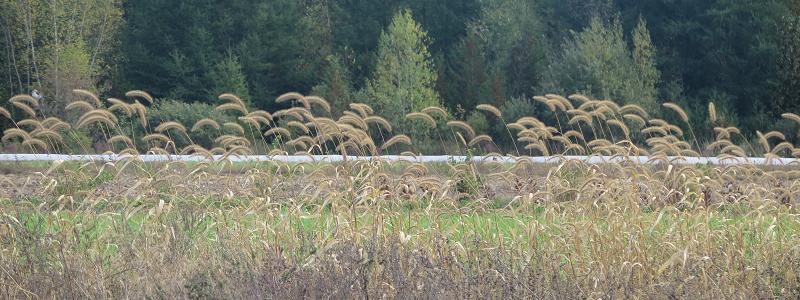 Graminées au champ - Fieldgrass_S